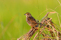 SEASIDE SPARROW 08-06-3012799