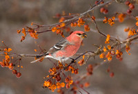 PINE GROSBEAK 08-01-0621922
