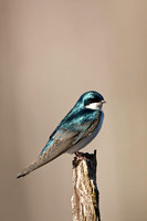 TREE SWALLOW 12-04-0647592