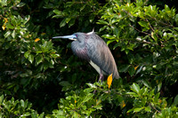 TRICOLORED HERON 09-04-222314