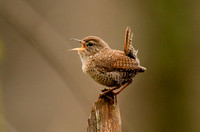 WINTER WREN 08-05-0328323