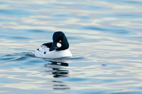 COMMON GOLDENEYE 15-02-1280634