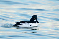 COMMON GOLDENEYE 15-02-1280629