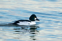 COMMON GOLDENEYE 15-02-1280624