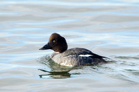 COMMON GOLDENEYE 15-02-1280580