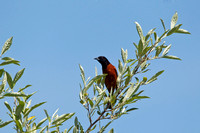 ORCHARD ORIOLE 10-05-2824216