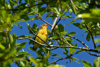 ORCHARD ORIOLE 12-06-1150368