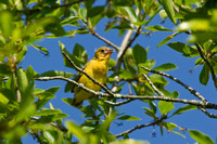 ORCHARD ORIOLE 12-06-1150369