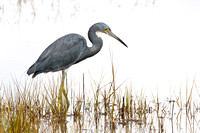 TRICOLORED HERON 12-09-0652801