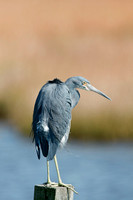 TRICOLORED HERON 12-09-1453293