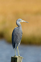 TRICOLORED HERON 12-09-1453313