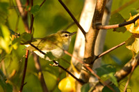 RED EYED VIREO 12-09-2454011