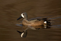 BLUE WINGED TEAL 15-04-1181765