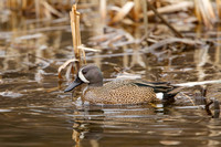 BLUE WINGED TEAL 15-04-1181605