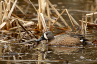 BLUE WINGED TEAL 15-04-1181494