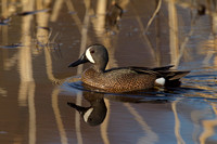 BLUE WINGED TEAL 15-04-1181463