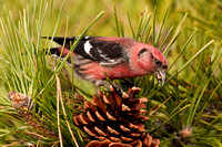 WW CROSSBILL 12-11-1256679
