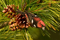 WW CROSSBILL 12-11-1256736