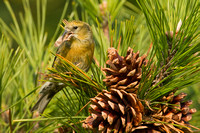 WW CROSSBILL 12-11-1256852