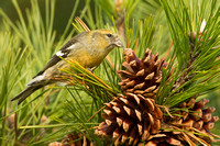 WW CROSSBILL 12-11-1256853