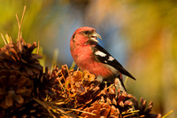 WW CROSSBILL 12-11-1857067