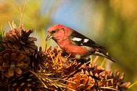 WW CROSSBILL 12-11-1857071