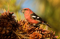 WW CROSSBILL 12-11-1857073