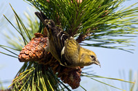 WW CROSSBILL 12-11-2057336