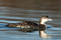 COMMON LOON 10-12-3030356