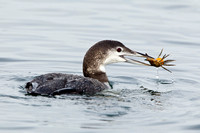 COMMON LOON 12-12-0257537