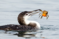 COMMON LOON 12-12-0257535