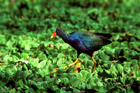 PURPLE GALLINULE 00-04
