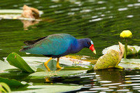 PURPLE GALLINULE 10-04-1521615