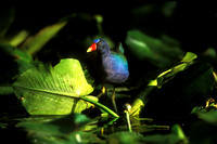 PURPLE GALLINULE 00-07