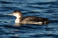 COMMON LOON 13-01-2758648
