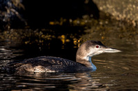 COMMON LOON 13-01-2758661