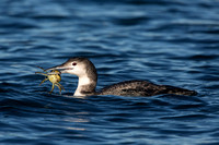 COMMON LOON 13-01-2758675B