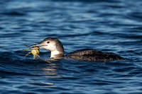 COMMON LOON 13-01-2758674