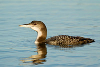 COMMON LOON 13-01-0558433