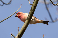 PURPLE FINCH 10-10-3028717