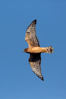 NORTHERN HARRIER 14-11-2178979