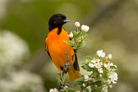 BALTIMORE ORIOLE 14-05-1474556