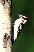 DOWNY WOODPECKER 00-06
