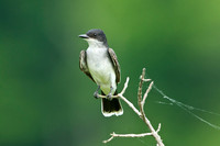 EASTERN KINGBIRD 13-05-3061758