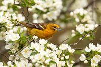 BALTIMORE ORIOLE 14-05-1474541