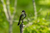 EASTERN KINGBIRD 13-05-3061750