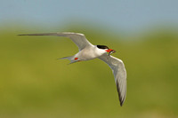 COMMON TERN 13-08-1163885