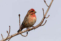 PURPLE FINCH 10-10-3028715