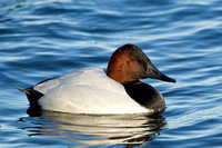 CANVASBACK 12-01-0944643