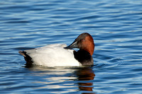 CANVASBACK 12-01-0944610